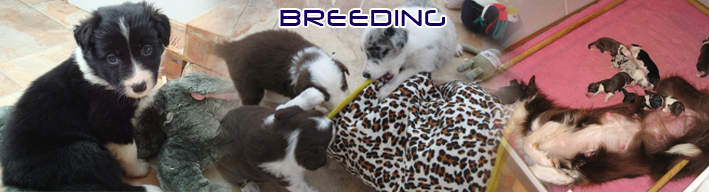 Nedlo Border Collie Breeding